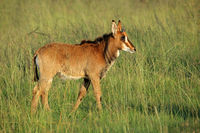 Sable antelope calf