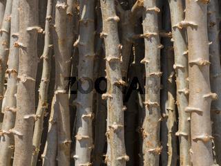 Cassava Stämme nach der Ernte