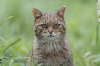 European Wildcat portrait, Felis silvestris