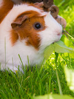 guinea pig in the sun eating gout weed