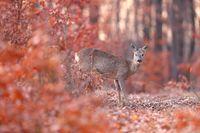 Roe deer doe standing in orange forest in autumn nature.