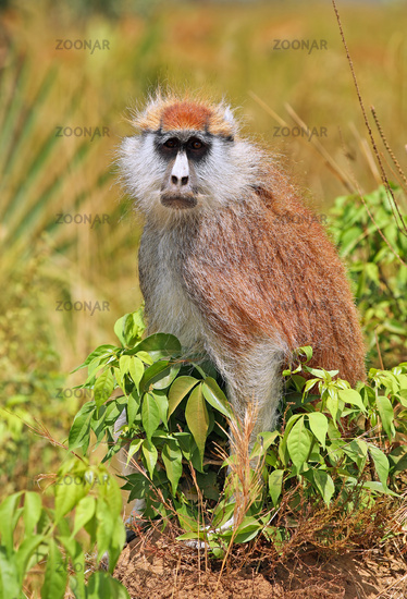 Patas Monkey, Murchison Falls National Park Uganda (Erythrocebus patas pyrrhonotus)
