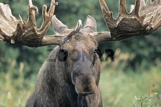 Portraet eines Elchschauflers mit Bastgeweih - (Alaska-Elch) / Bull Moose in portrait with velvet antler - (Alaska Moose) / Alces alces - Alces alces (gigas)