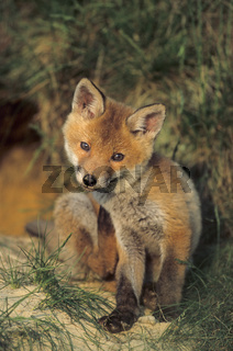 Jungfuchs sitzt entspannt vor dem Fuchsbau kratzt sich - (Rotfuchs - Fuchs) / Red Fox kit sitting relaxed in front of the foxs den scratch themself - (European Red Fox) / Vulpes vulpes