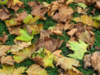 Autumn leaves, fall leaves, plane tree leaves