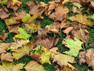 Herbstlaub, Fallaub, Platanenlaub