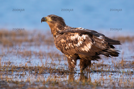 Immature white-tailed eagle standing on flood in autumn.