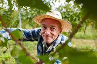 Erntehelfer bei der Weinlese am Rebstock