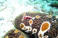 Emperor Shrimp on a leopard sea cucumber