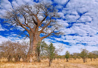monkey-bread tree, South Luangwa NP, Zambia, (Adansonia digitata)
