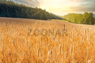 wheat on field against blue sky in summer