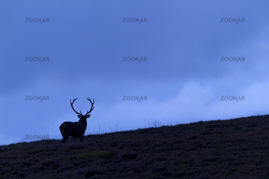 At dusk a Red Deer stag moves to a heath area