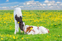Two newborn calves together in flowering meadow