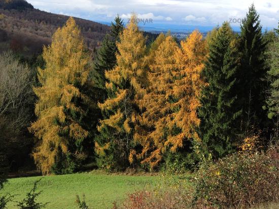 larch; autumn; forest;