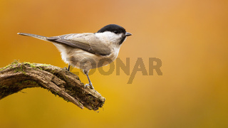Willow tit sitting on branch in autumn nature with copy space.