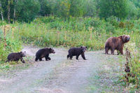 Kamchatka brown she-bear come out forest with three bear cubs, walking along country road