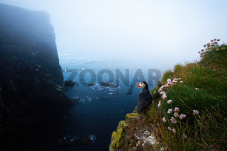 Atlantic puffin standing on cliff in summer Iceland nature