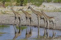 Giraffen  (Giraffa) im Etosha National Park