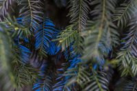 Fir needles painted in bright blue in close-up