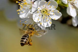 Biene bestäubt eine Blüte