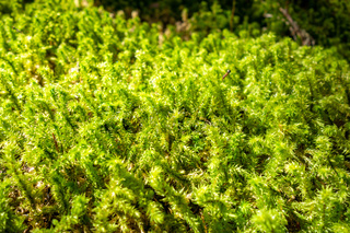 Moss detail in Vanoise national Park, French alps