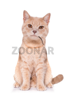 hungry cat with mouse in mouth