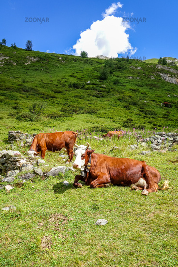 Cows in alpine pasture, Pralognan la Vanoise, French Alps