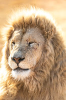 White male lion close up. South Africa.