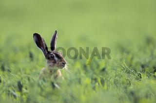 Feldhase schaut neugierig aus einem Feld / European Hare looking curious out of a field - (Brown Hare) / Lepus europaeus