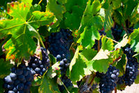 ripe red grapes and leaves on vine before harvest