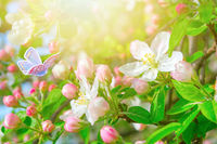Blooming apple tree flowers, butterfly, dreamy sunny background. Soft focus. Greeting gift card template. Pastel pink and green toned image.Spring delicate nature. Copy space