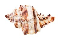 single striped conch of muricidae mollusk isolated