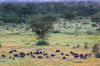 African buffalos at Queen Elizabeth National Park, Ishasha, Uganda