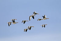 Greylag Geese during the migration
