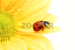ladybug on yellow flower ladybug on yellow flower