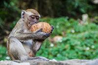 Monkey eating fresh coconut