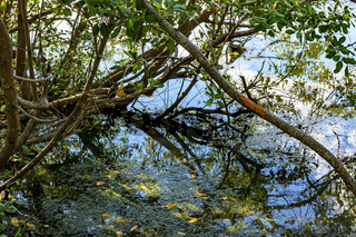 Dense tropical mangrove vegetation over water