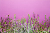 Heather Flowers (Calluna Vulgaris) On Purple Background