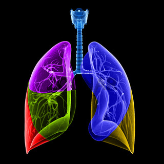 medical illustration of the lung lobes