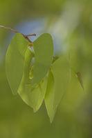 Mopane (Colophospermum mopane)