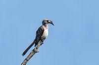 African Grey Hornbill, Botswana, Africa wildlife