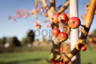Paradise Apples Fruit