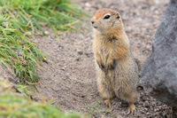Arctic ground squirrel, carefully looking so as not to fall into jaws of predatory beasts