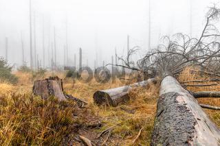 Nationalpark Harz Tote Bäume im Nebel Geisterwald