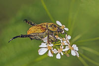 Scarab beetle   'Hoplia argentea'