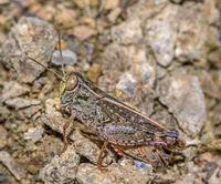 Italian locust 'Calliptamus italicus'