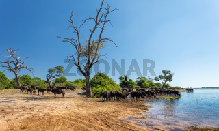 Cape Buffalo at Chobe, Botswana safari wildlife