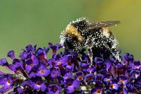 Gartenhummel auf einem Schmetterlingsflieder