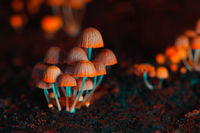 Small mushrooms toadstools. Orange psilocybin mushrooms. Selective focus