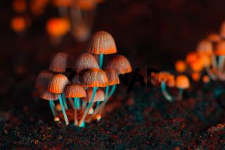 Small mushrooms toadstools. Orange psilocybin mushrooms. Selective focus
